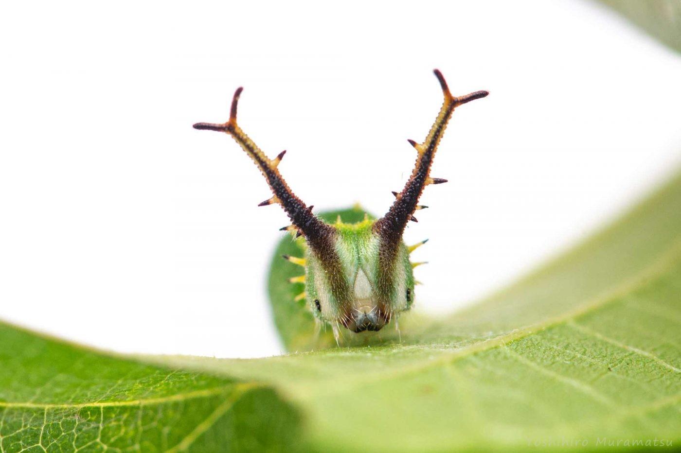 ゴマダラチョウの写真