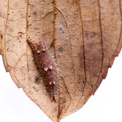 ゴマダラチョウの幼虫の写真