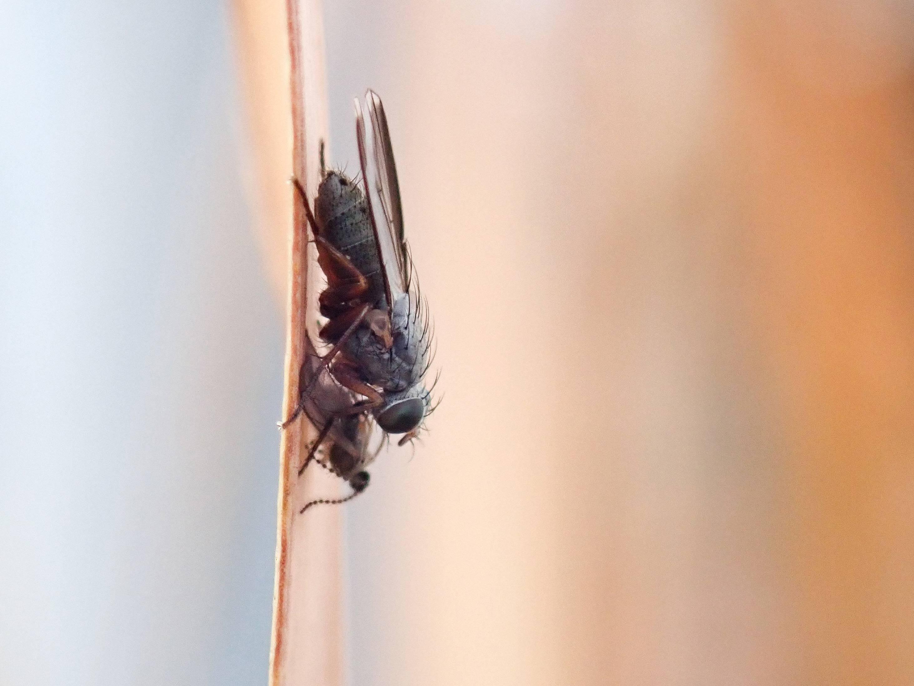 ヘリグロヒメハナバエの写真