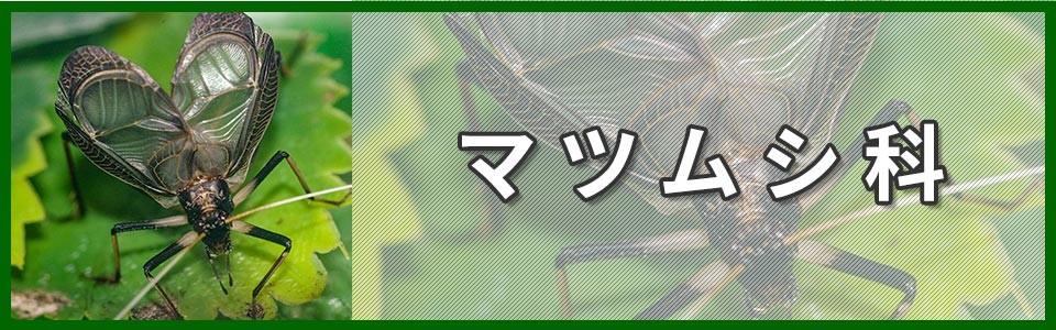 マツムシ科バナー画像