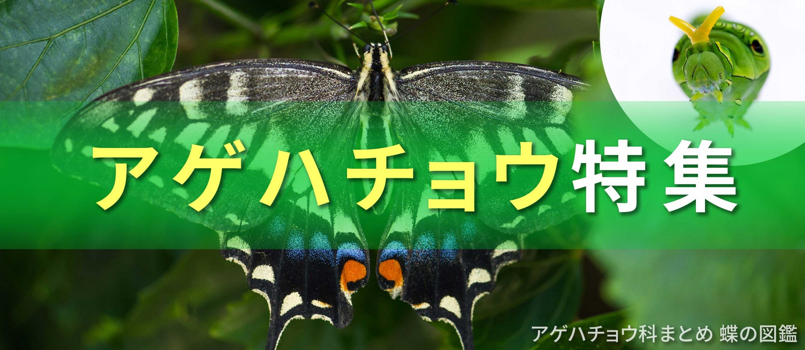 アゲハチョウ特集バナーの画像