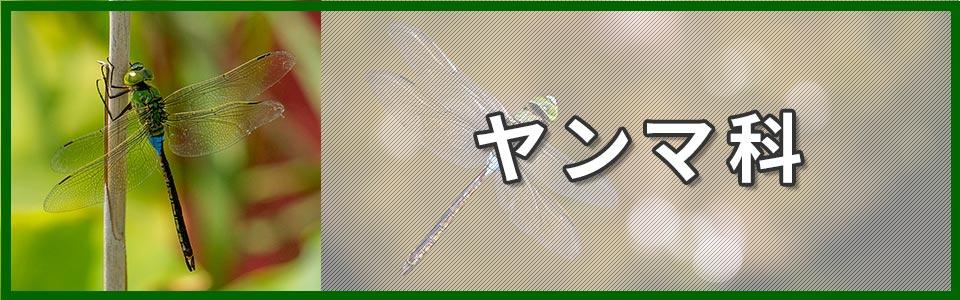 ヤンマ科のバナー
