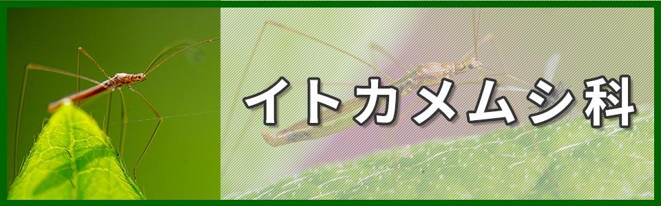 イトカメムシ科のバナー