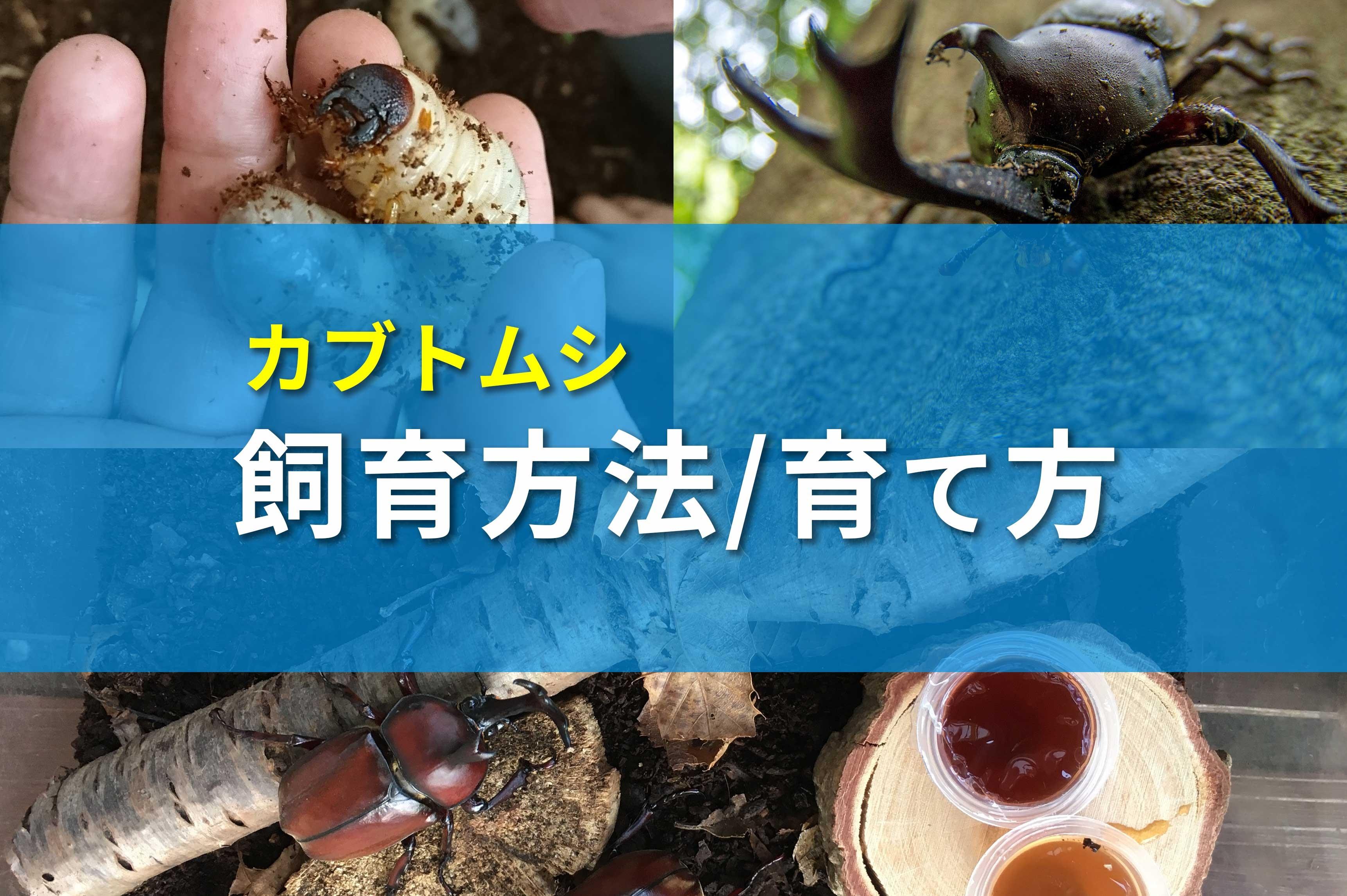 カブトムシ蛹 横向き