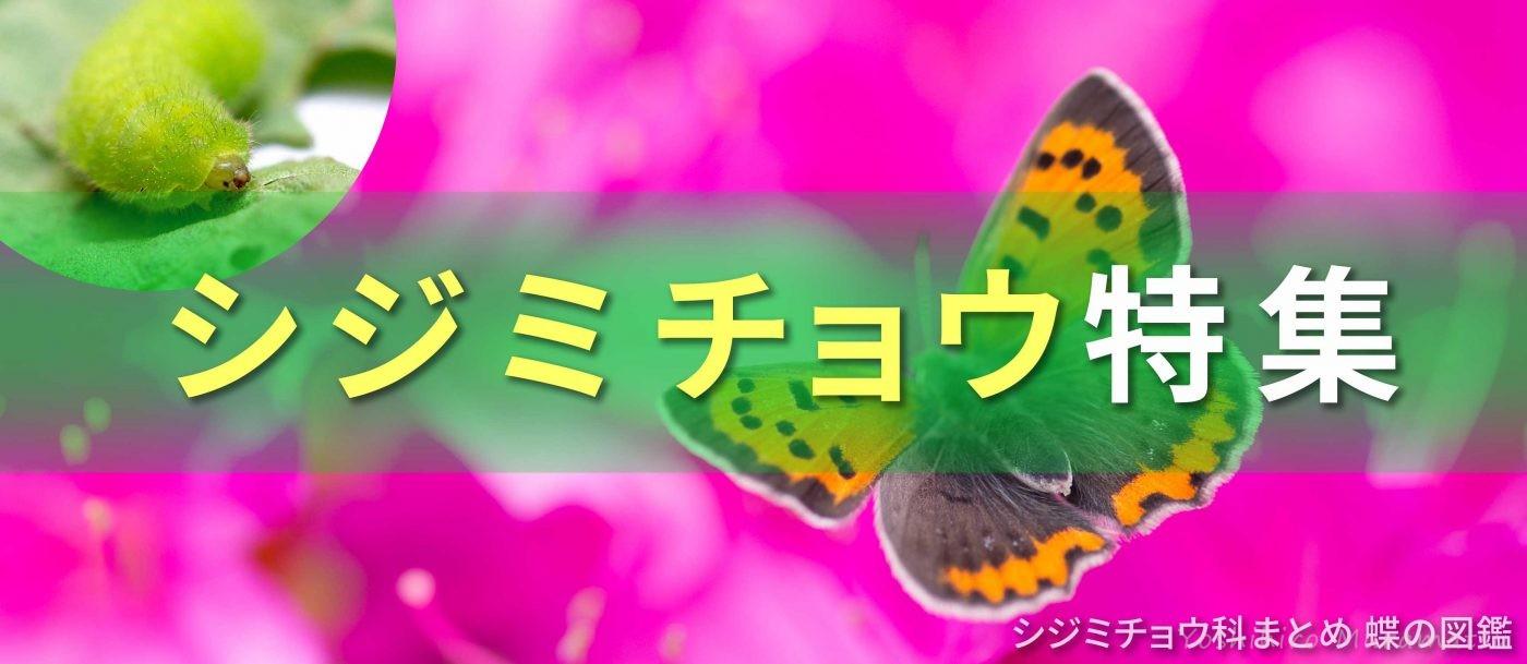 シジミチョウ特集バナー画像