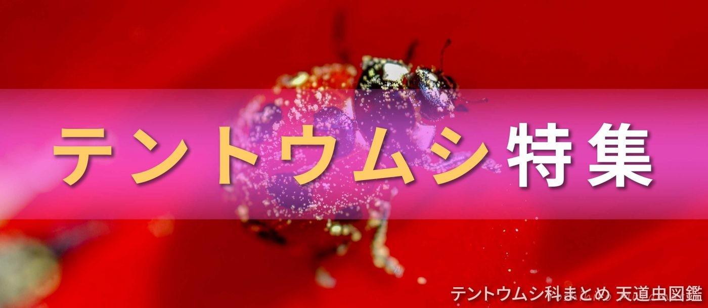 テントウムシ特集バナーの画像