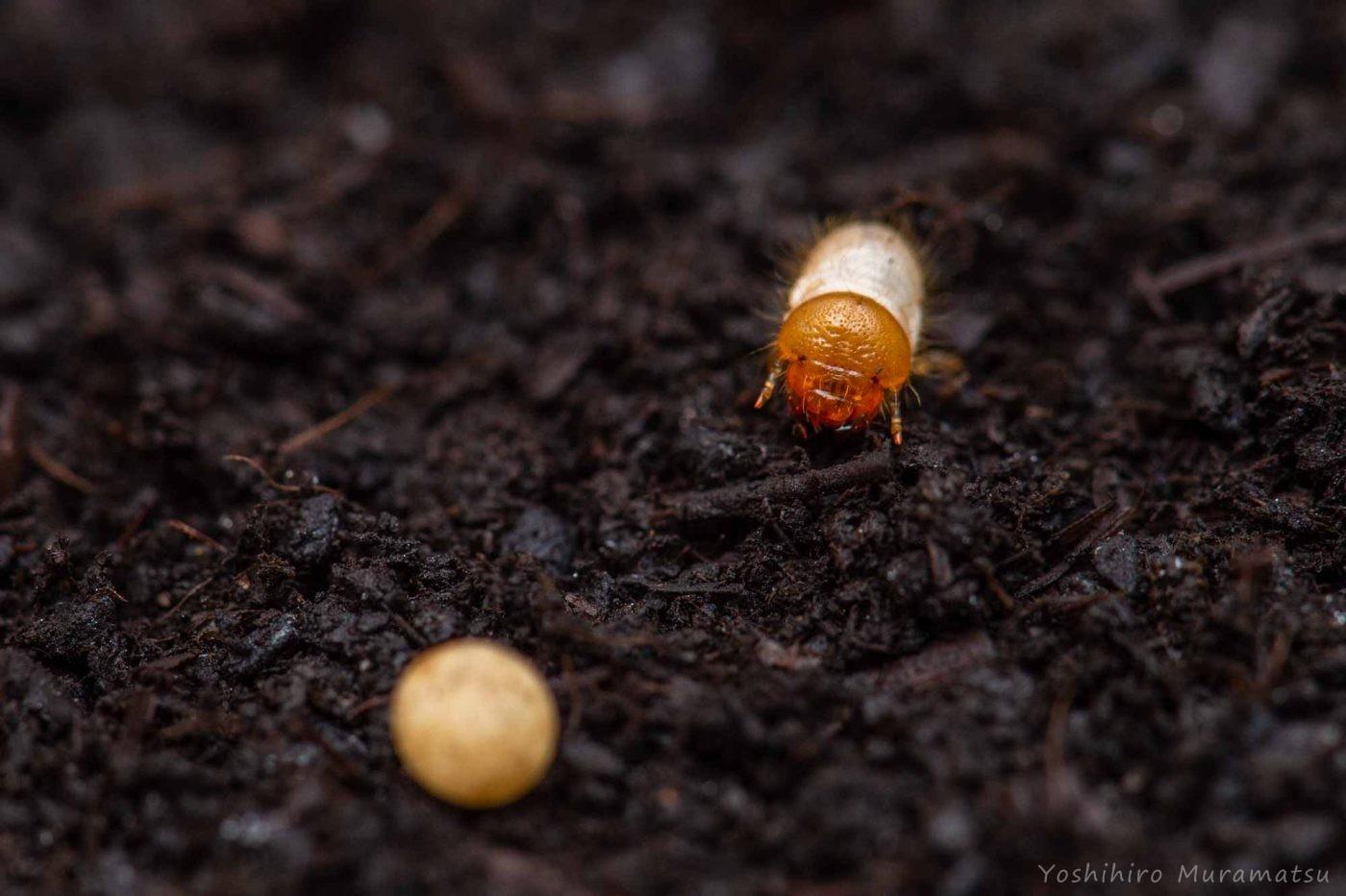 カブトムシの幼虫の写真
