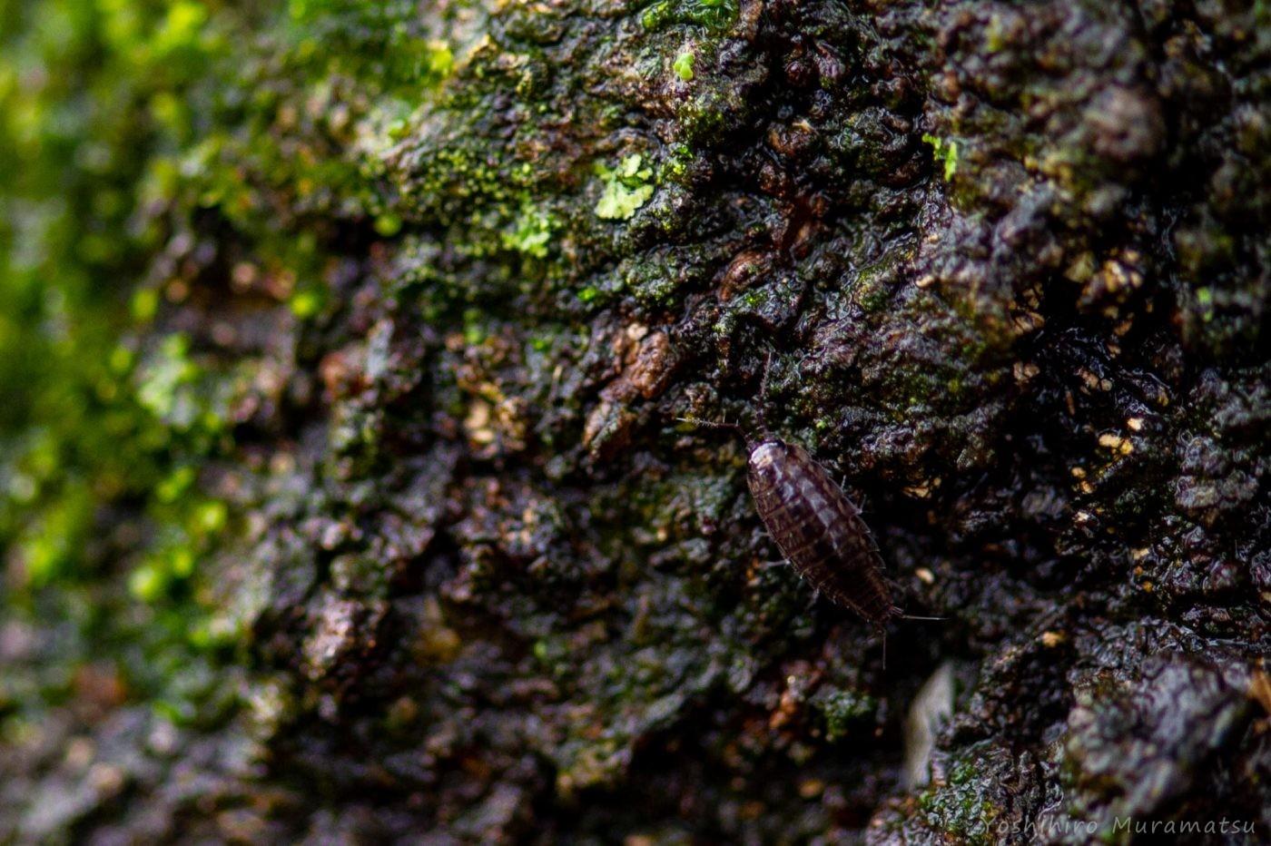 ハヤシワラジムシの一種の写真