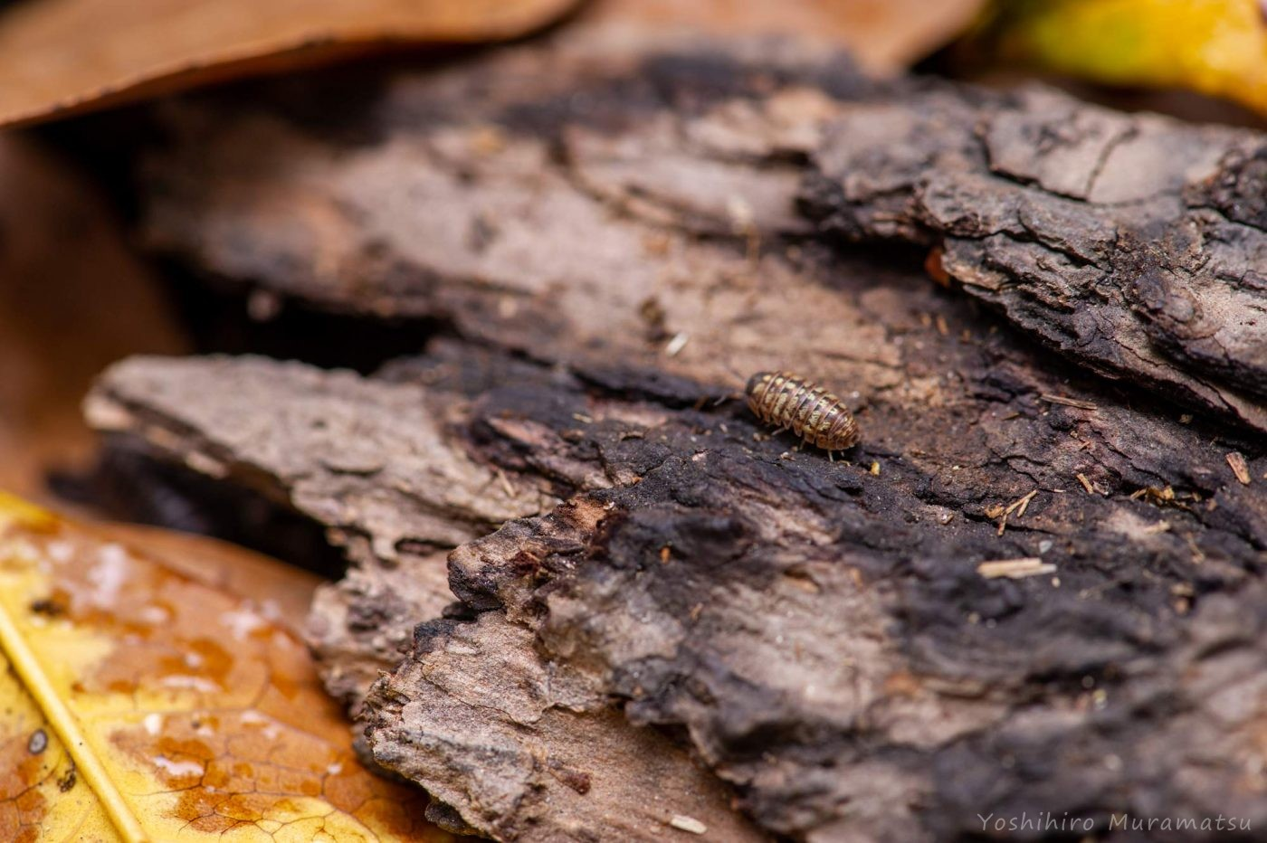 ダンゴムシの写真