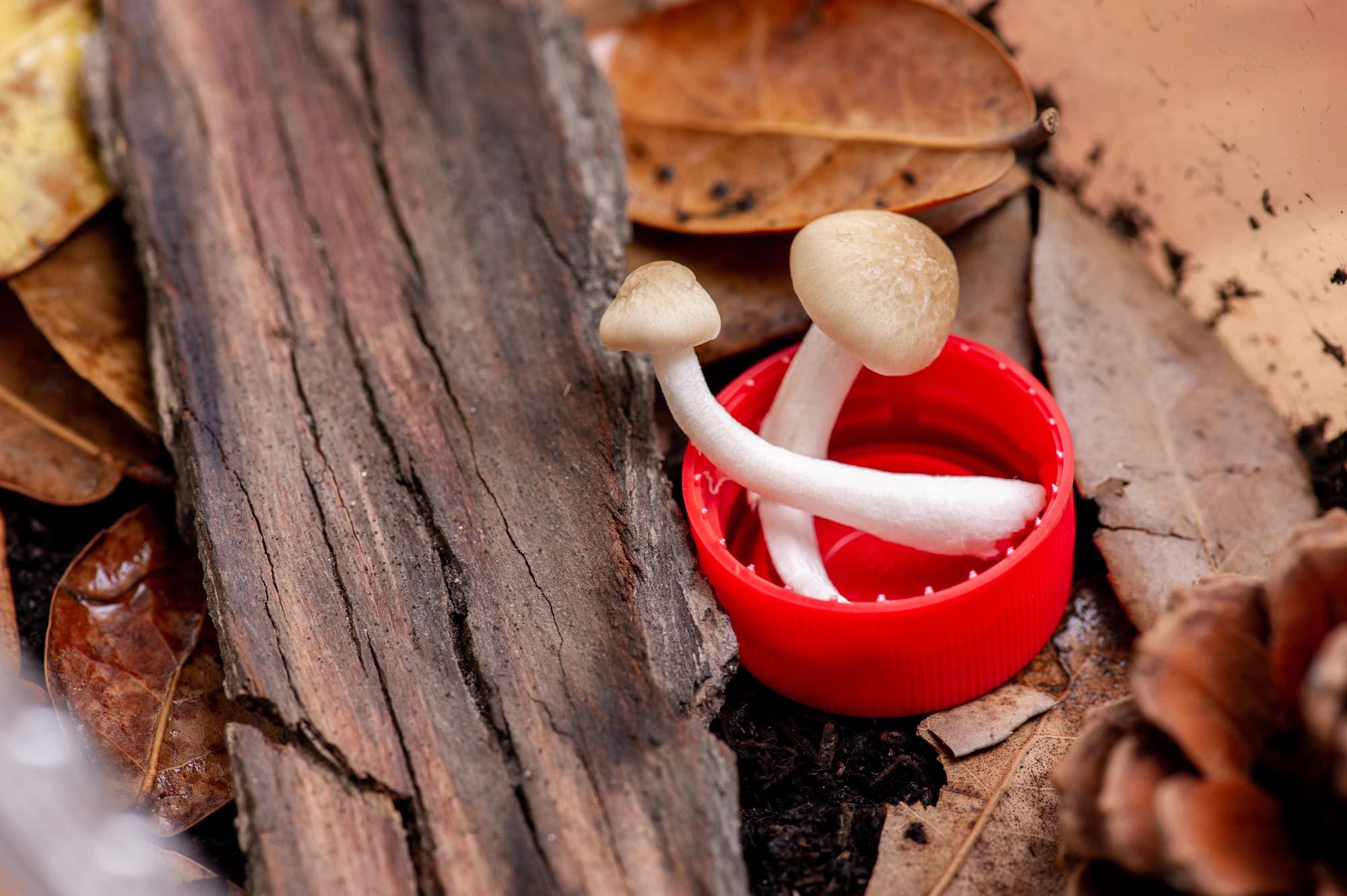 ダンゴムシの飼育 きのこを入れたペットボトルのフタの画像