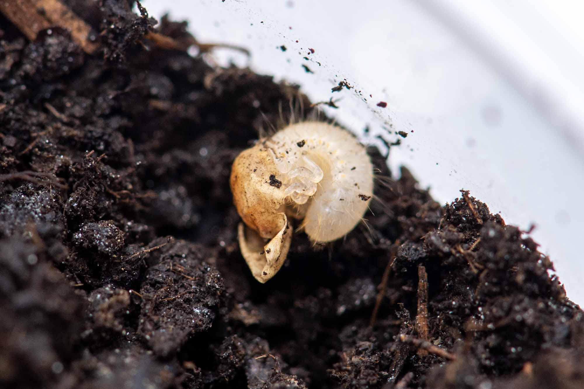 カブトムシの写真