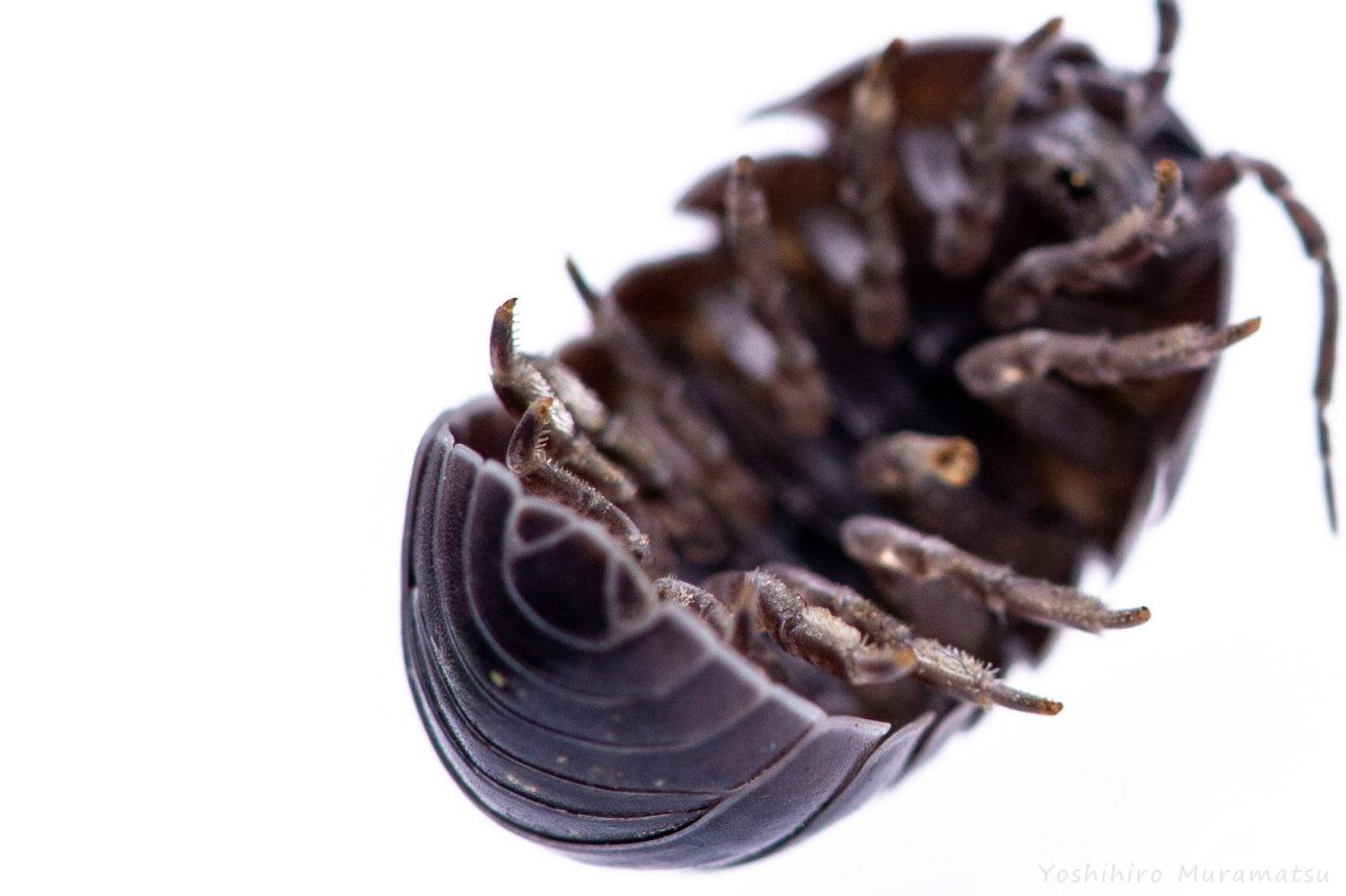 オカダンゴムシの写真