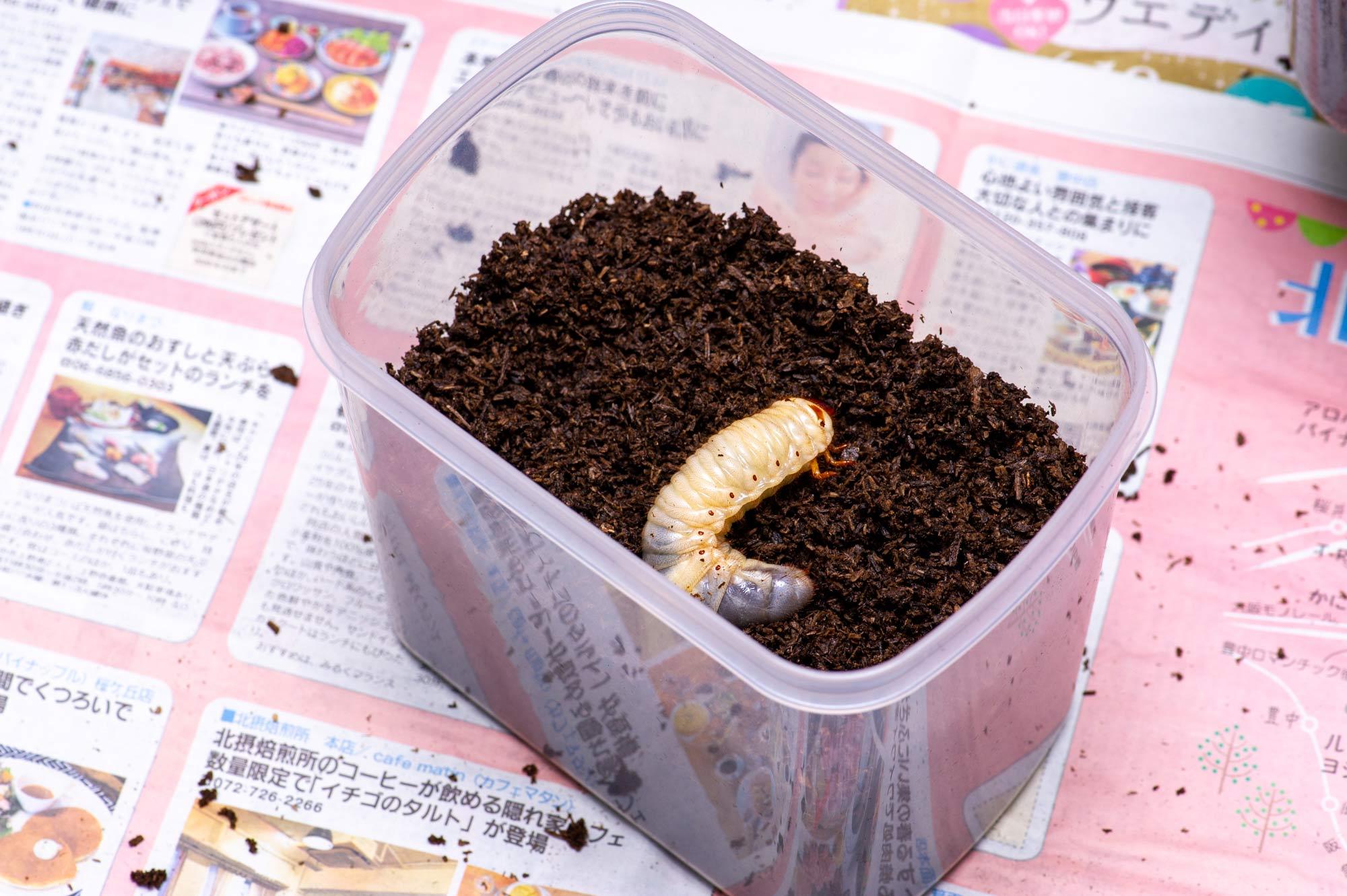 カブトムシ飼育の画像