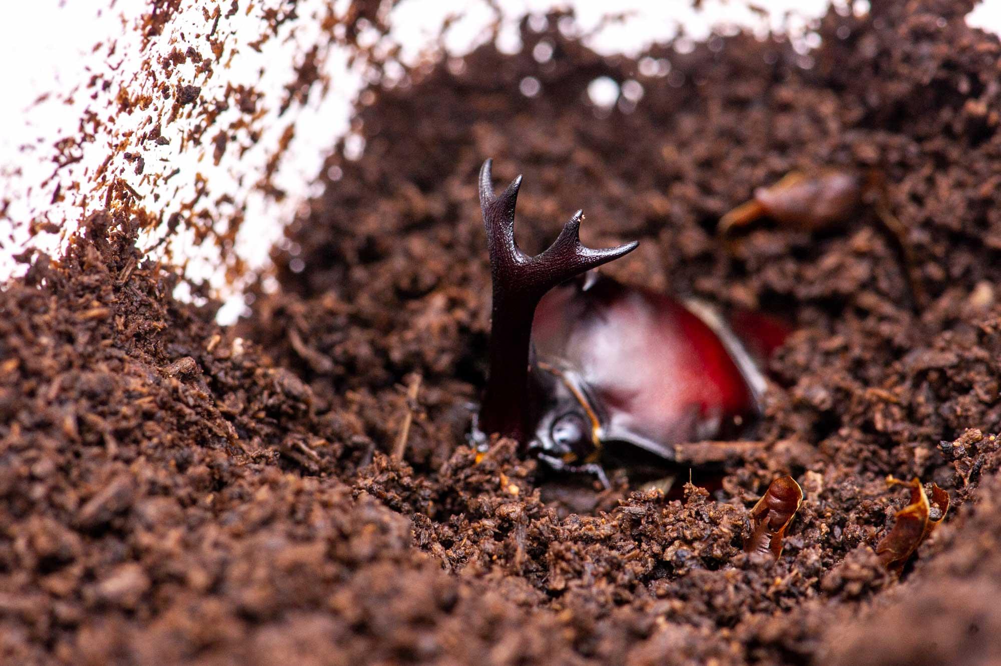 カブトムシの飼育の写真