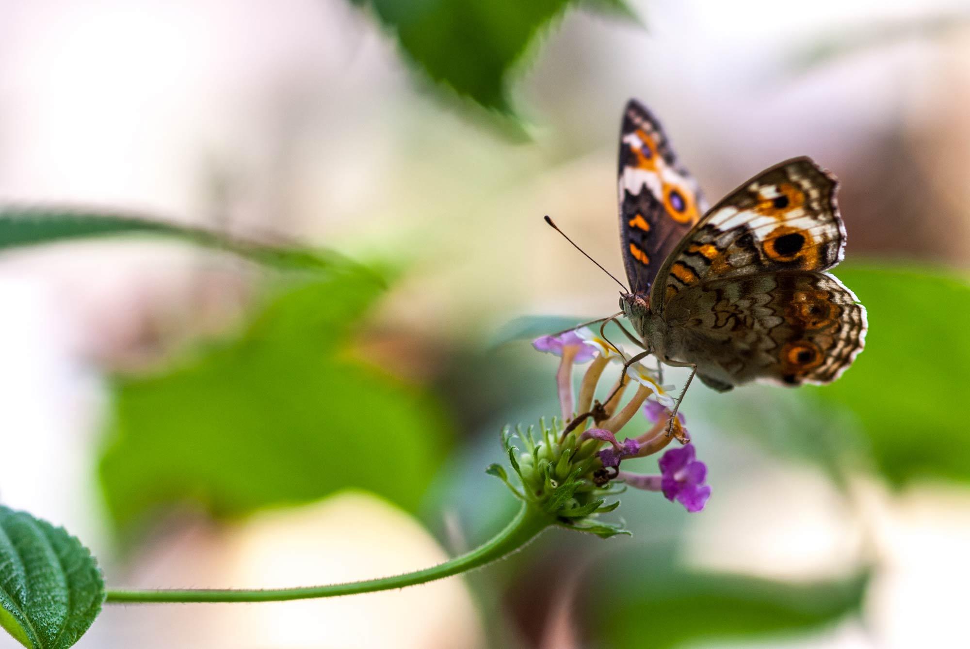 アオタテハモドキの写真