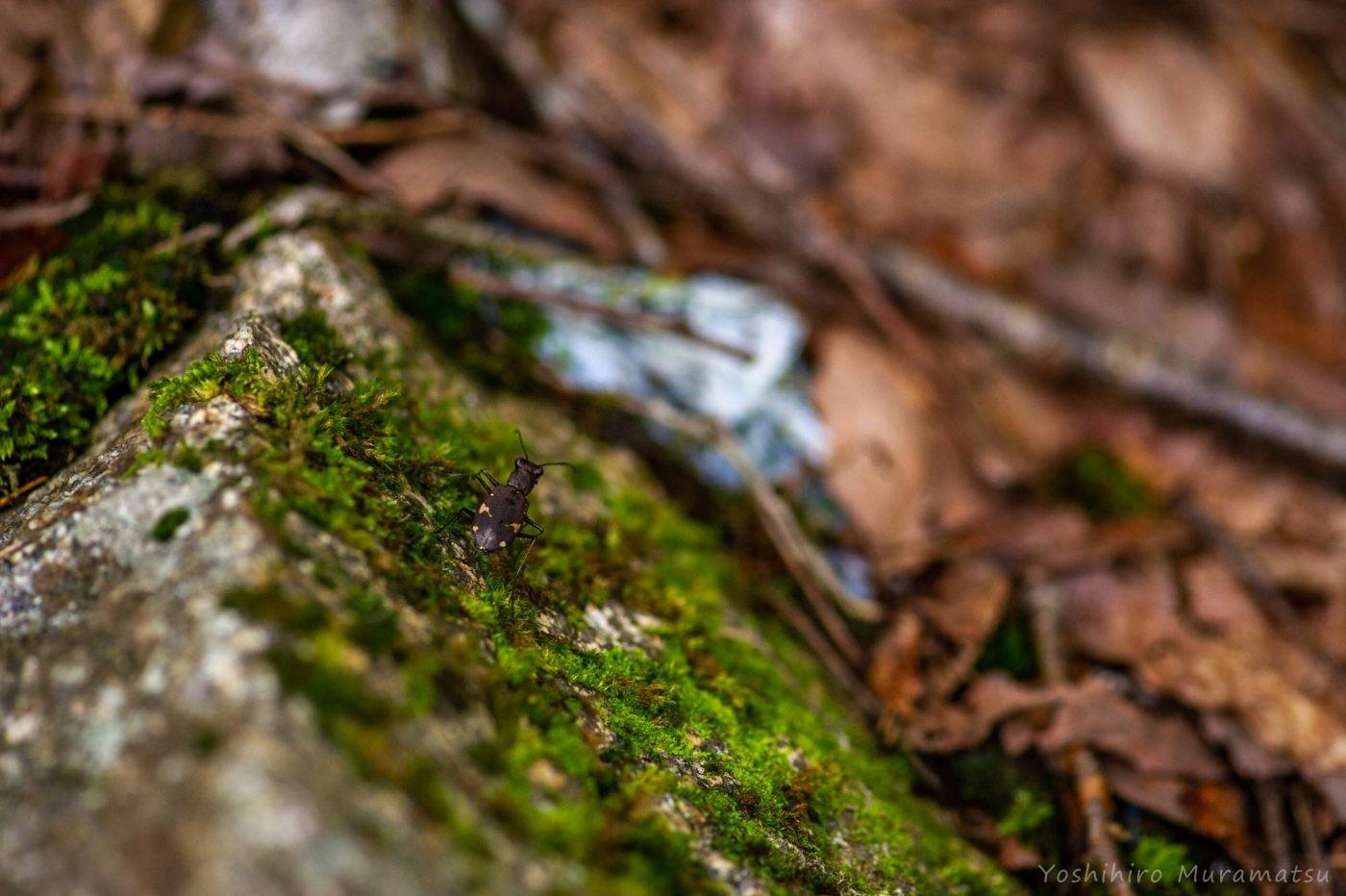 ニワハンミョウの写真