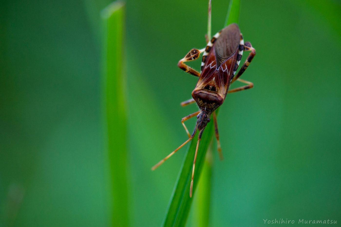 マツヘリカメムシの写真