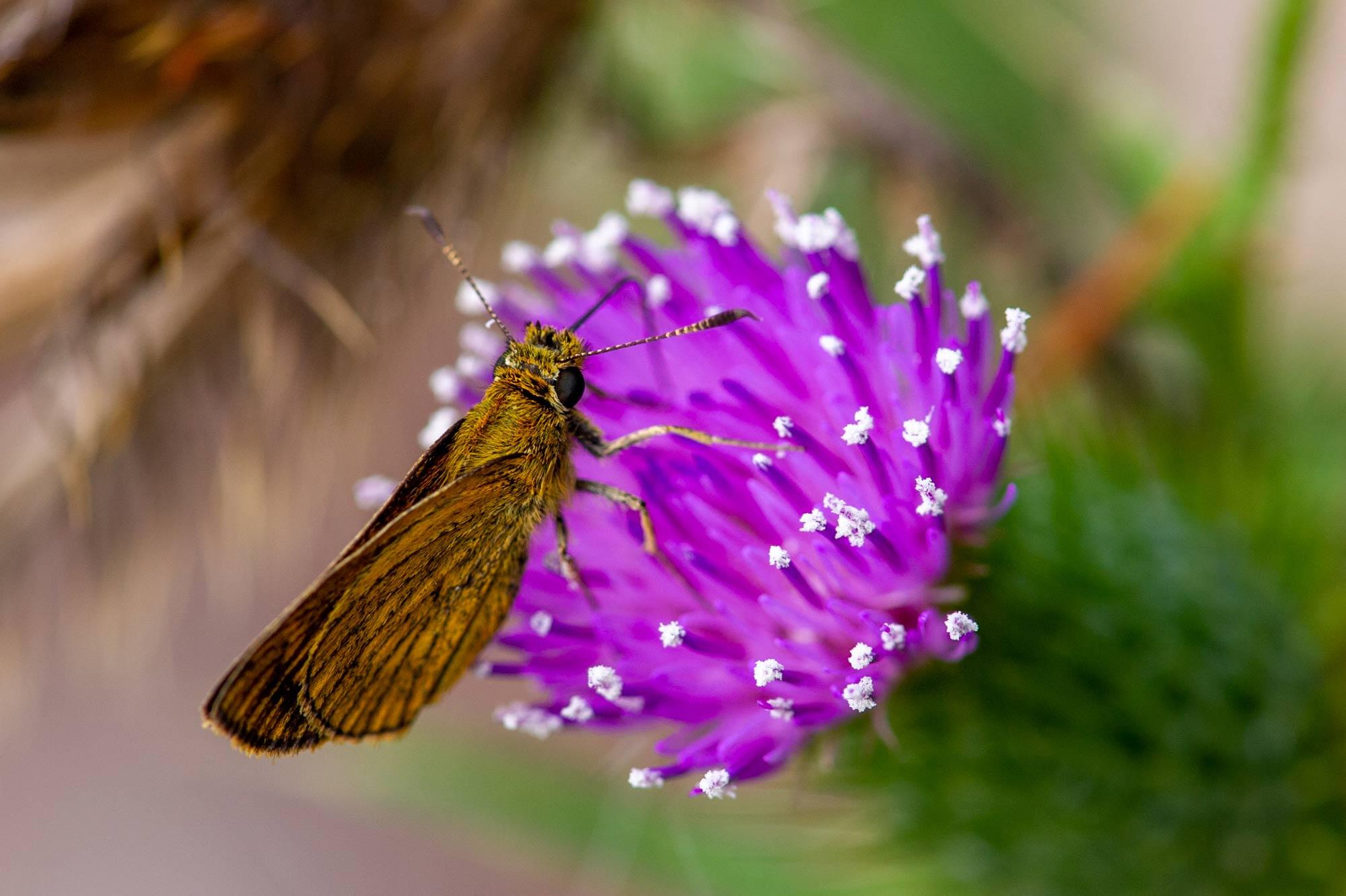 ヒメキマダラセセリの写真