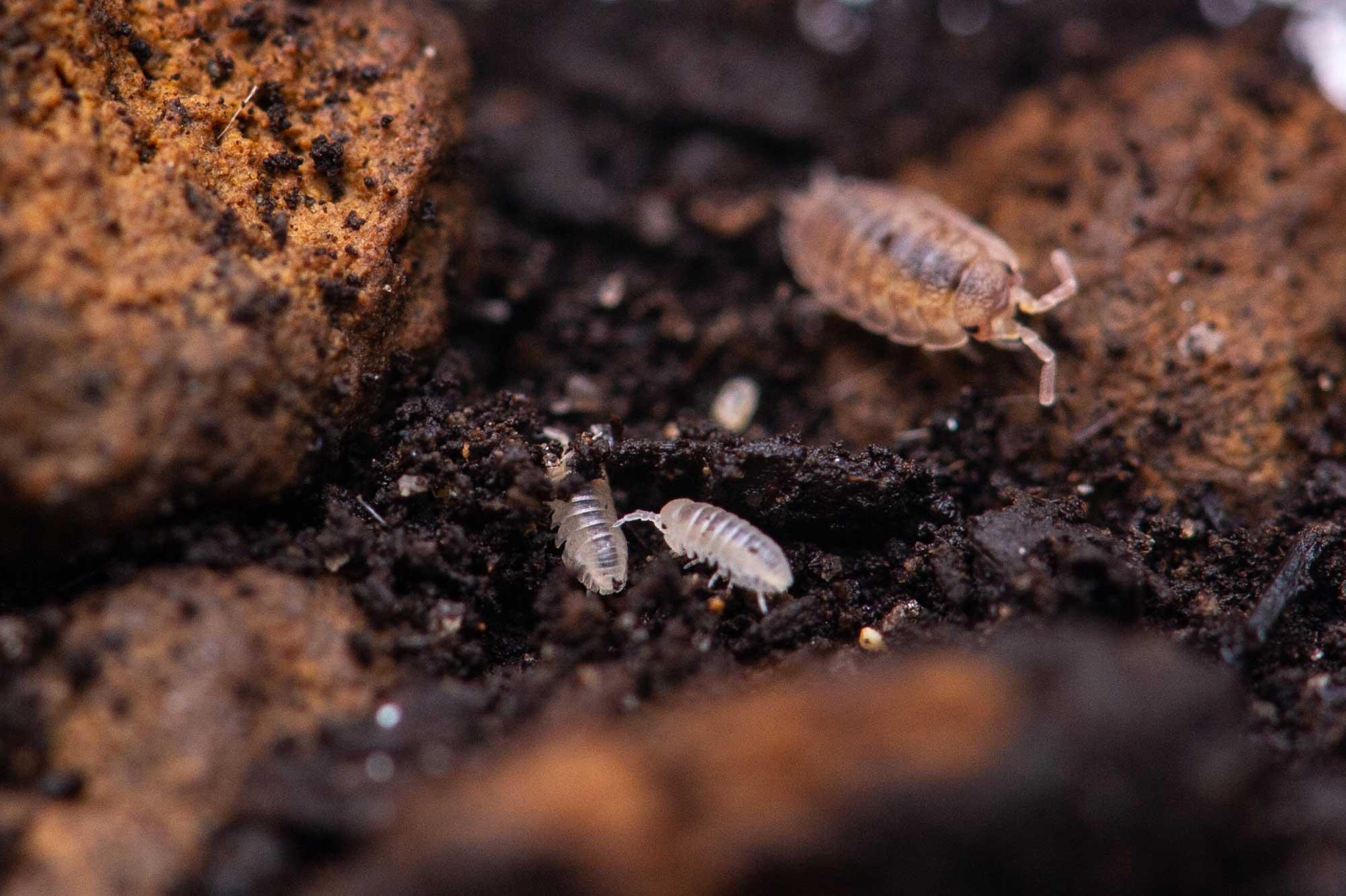 ダンゴムシの飼育の写真