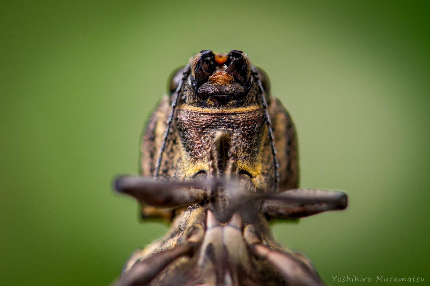 ウバタマムシの写真