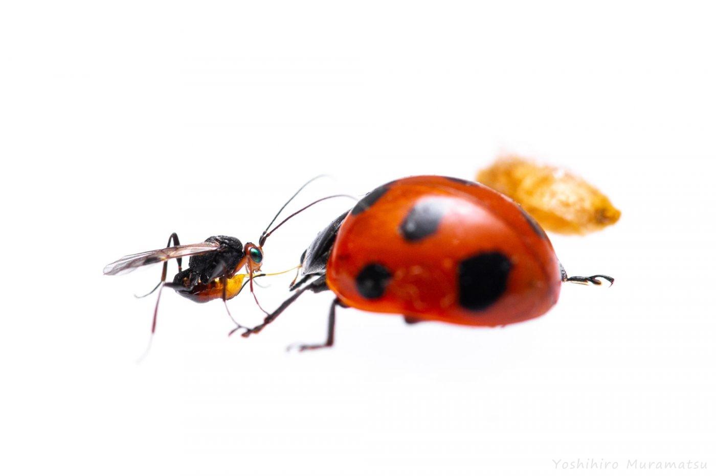 テントウハラボソコマユバチの写真