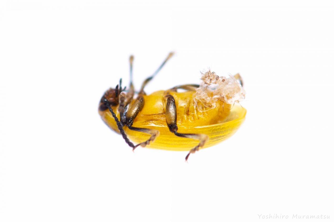 コガタルリハムシの飼育の写真