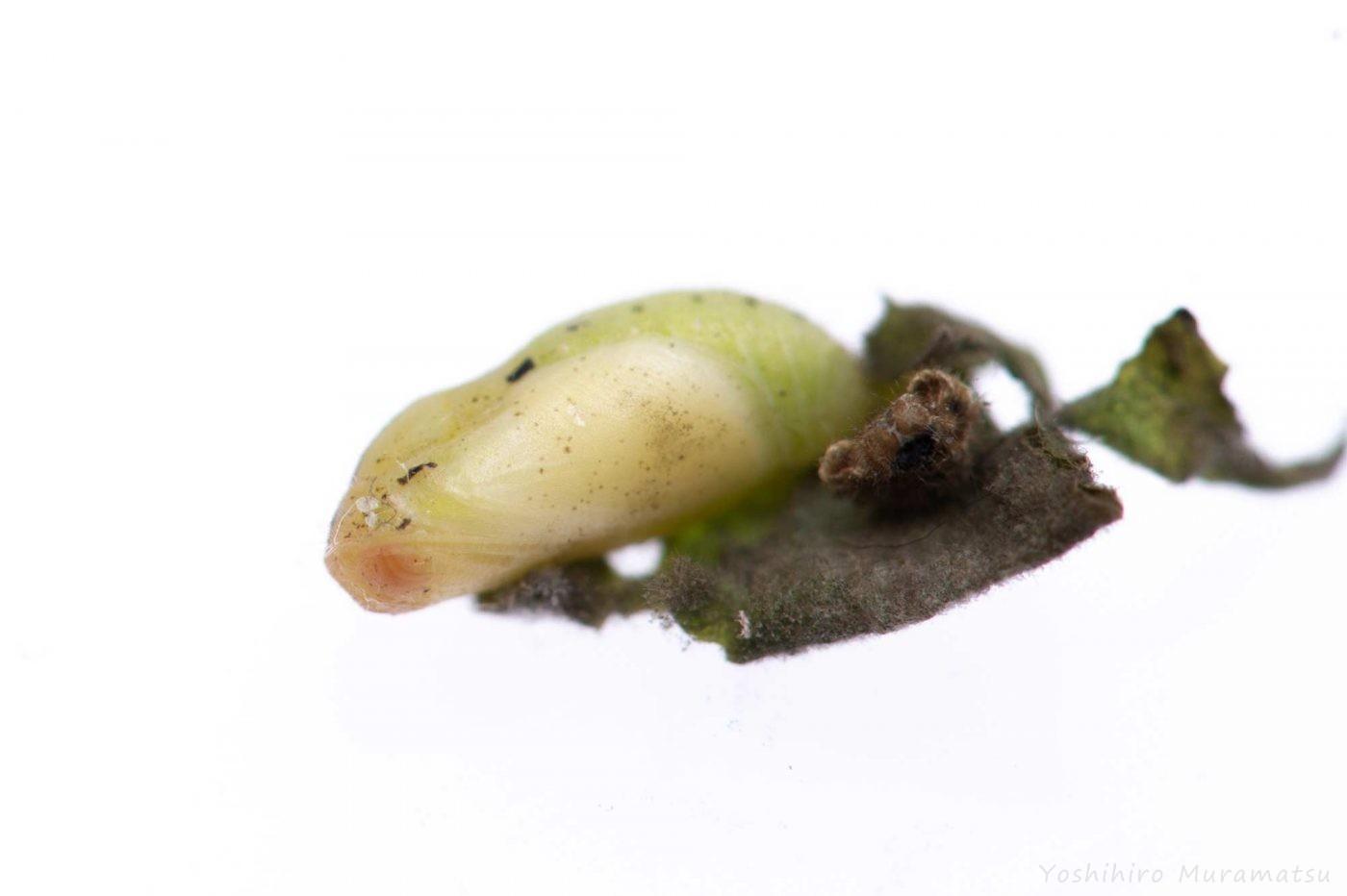 ヤマトシジミの飼育の写真