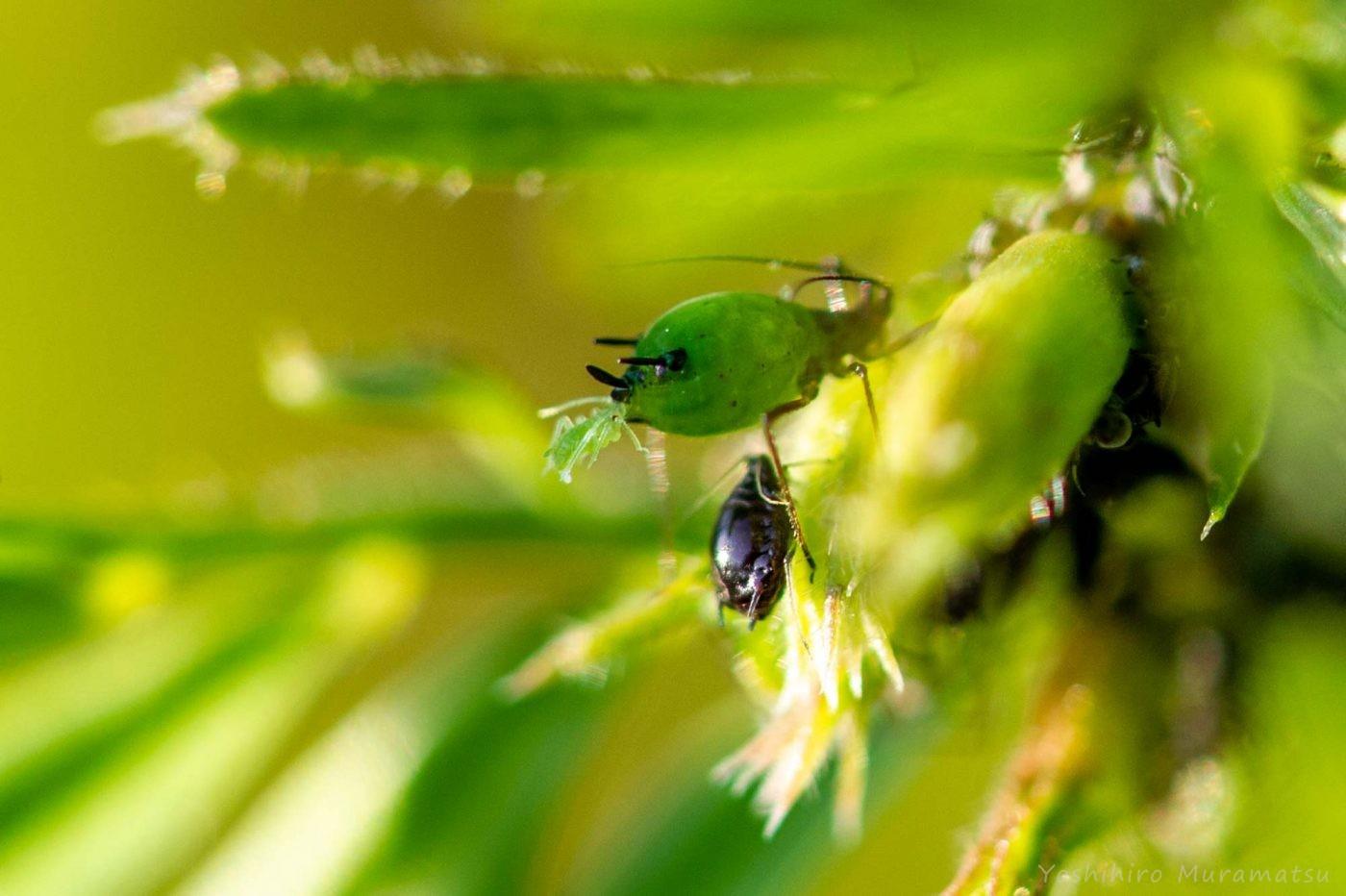 ソラマメヒゲナガアブラムシの写真