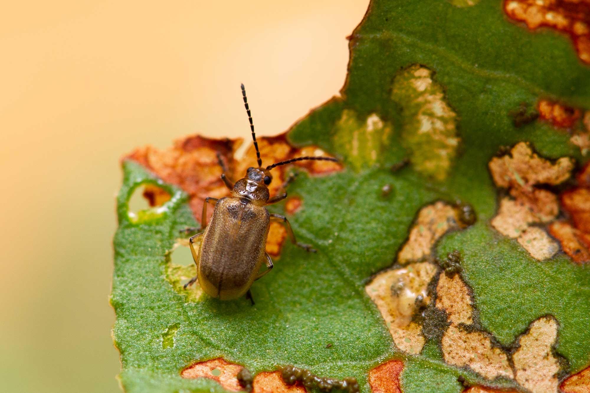 イチゴハムシの飼育の写真