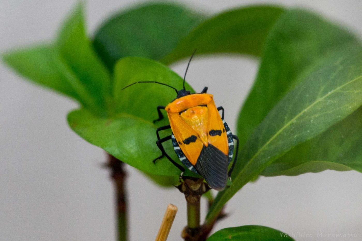 ジンメンカメムシの写真