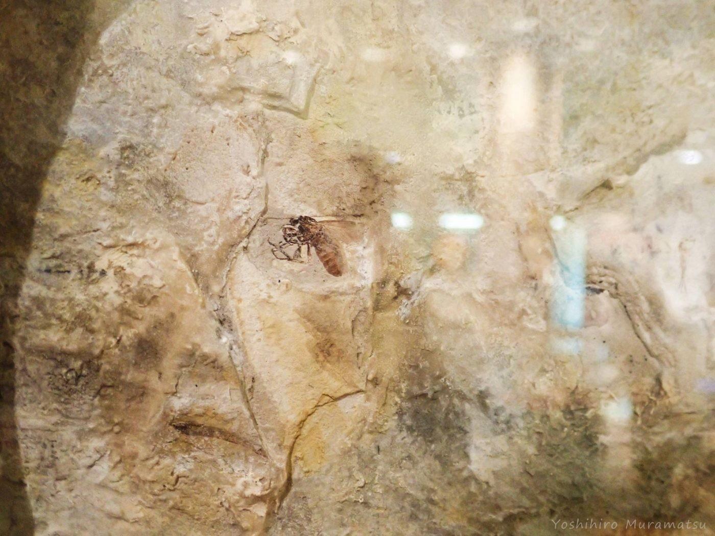 昆虫化石の写真