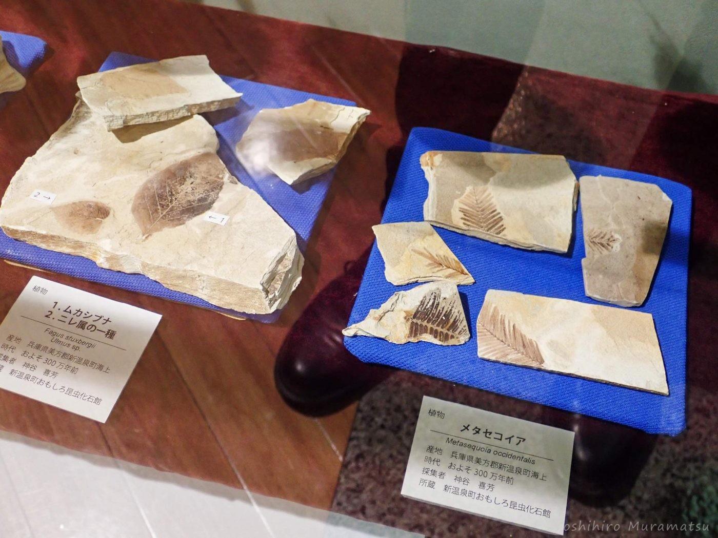 昆虫化石 植物化石の写真