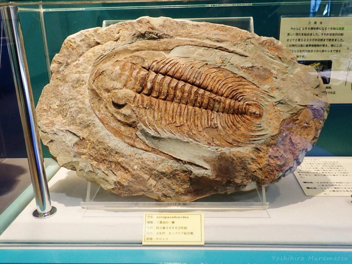 三葉虫の化石の写真