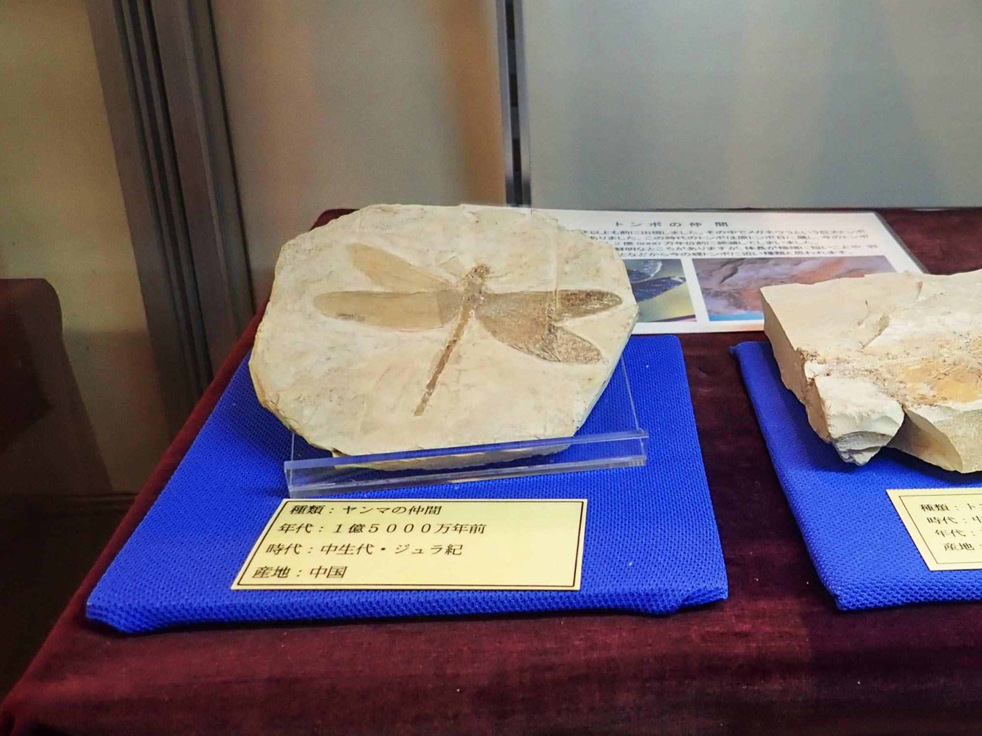 海外の昆虫化石の写真