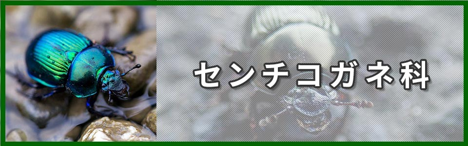 センチコガネ科バナー画像