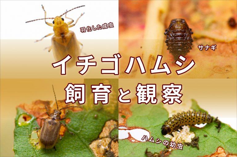イチゴハムシの飼育の画像