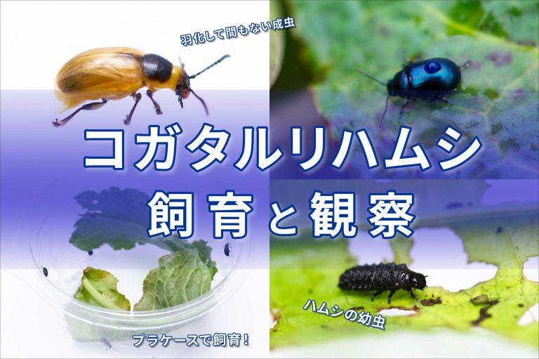 コガタルリハムシの飼育バナー