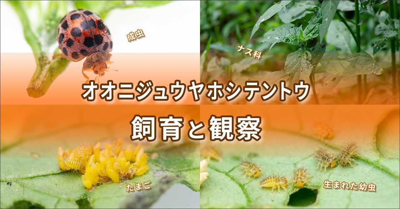 オオニジュウヤホシテントウの飼育のバナーの画像
