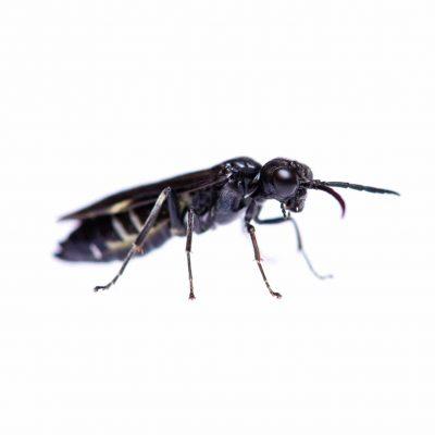 ハグロハバチの飼育の写真