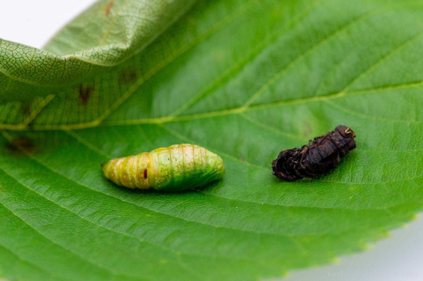 枝みたいなイモムシの飼育の写真