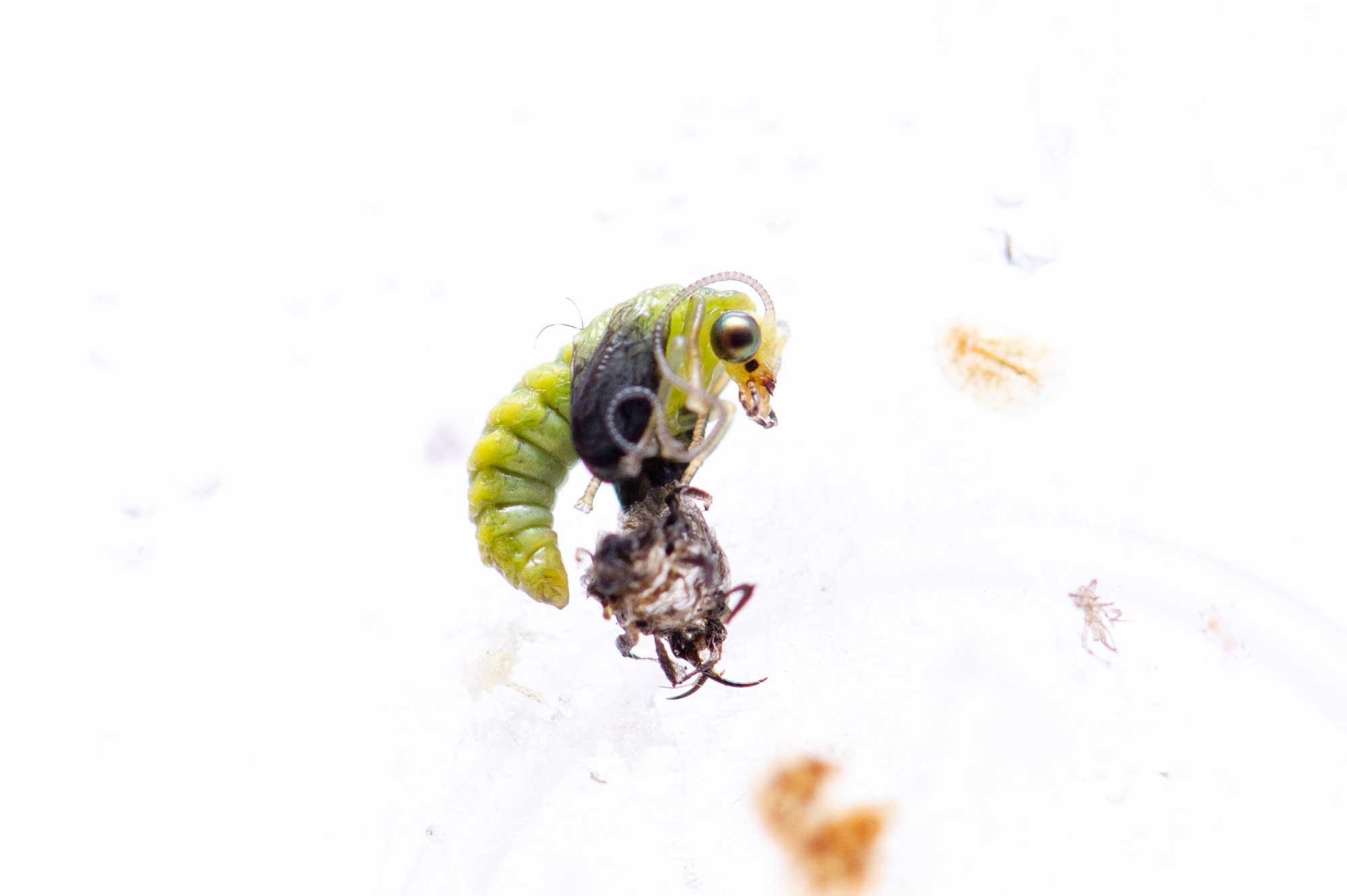 スズキクサカゲロウの飼育の写真