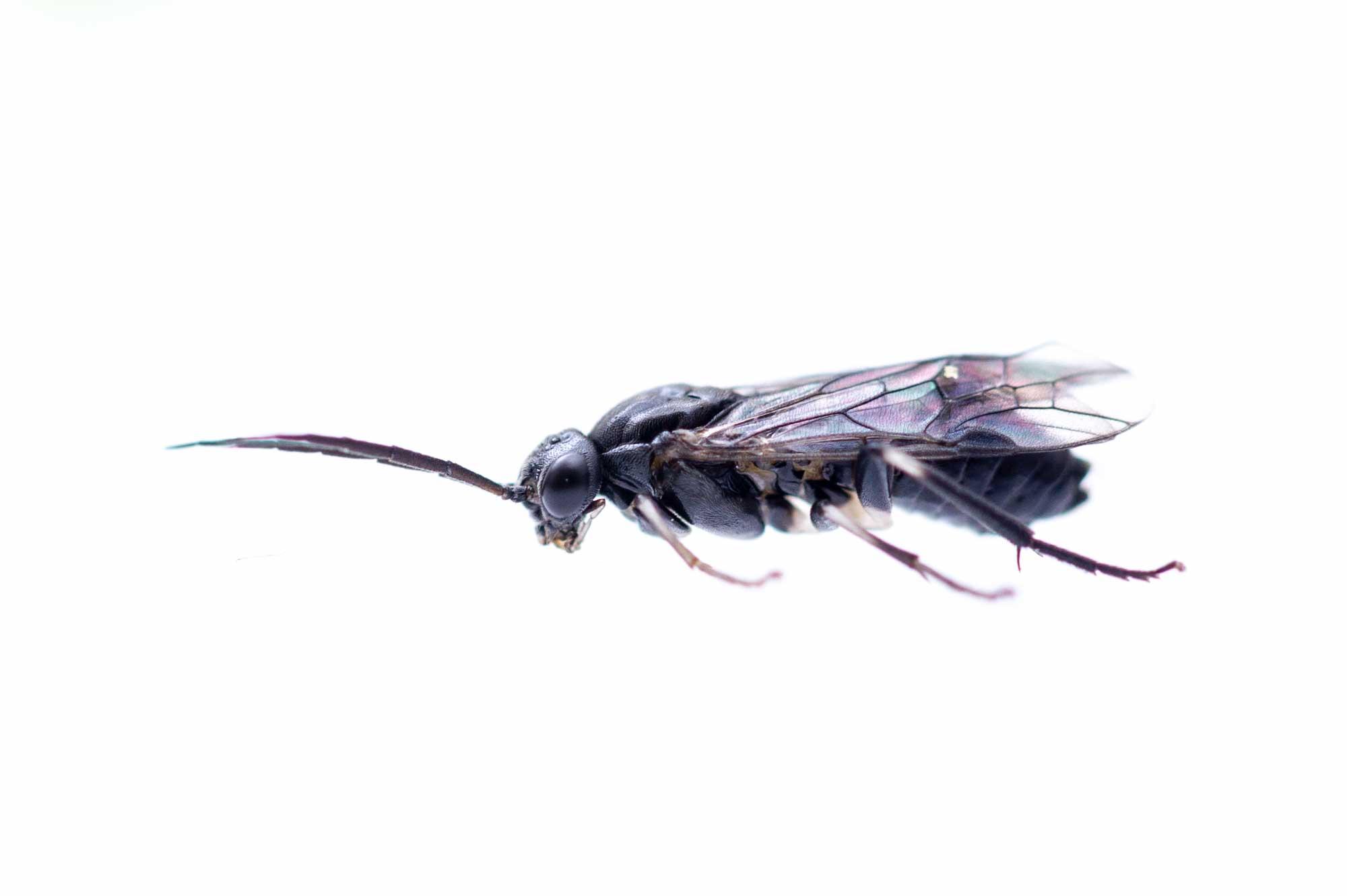 サクラ ハバチの飼育の写真
