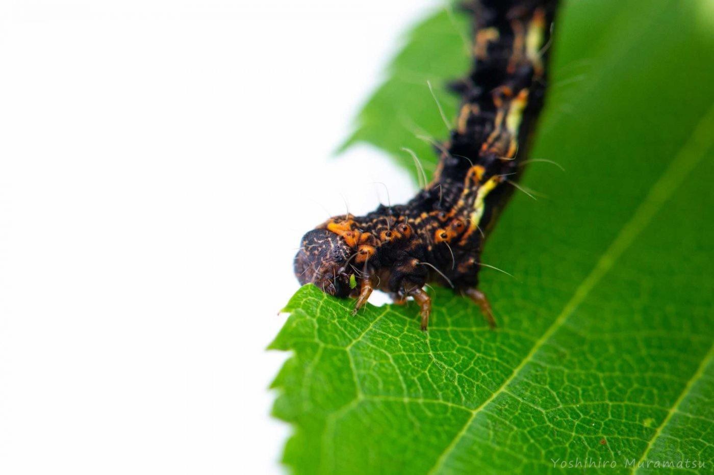 イモムシの飼育の写真