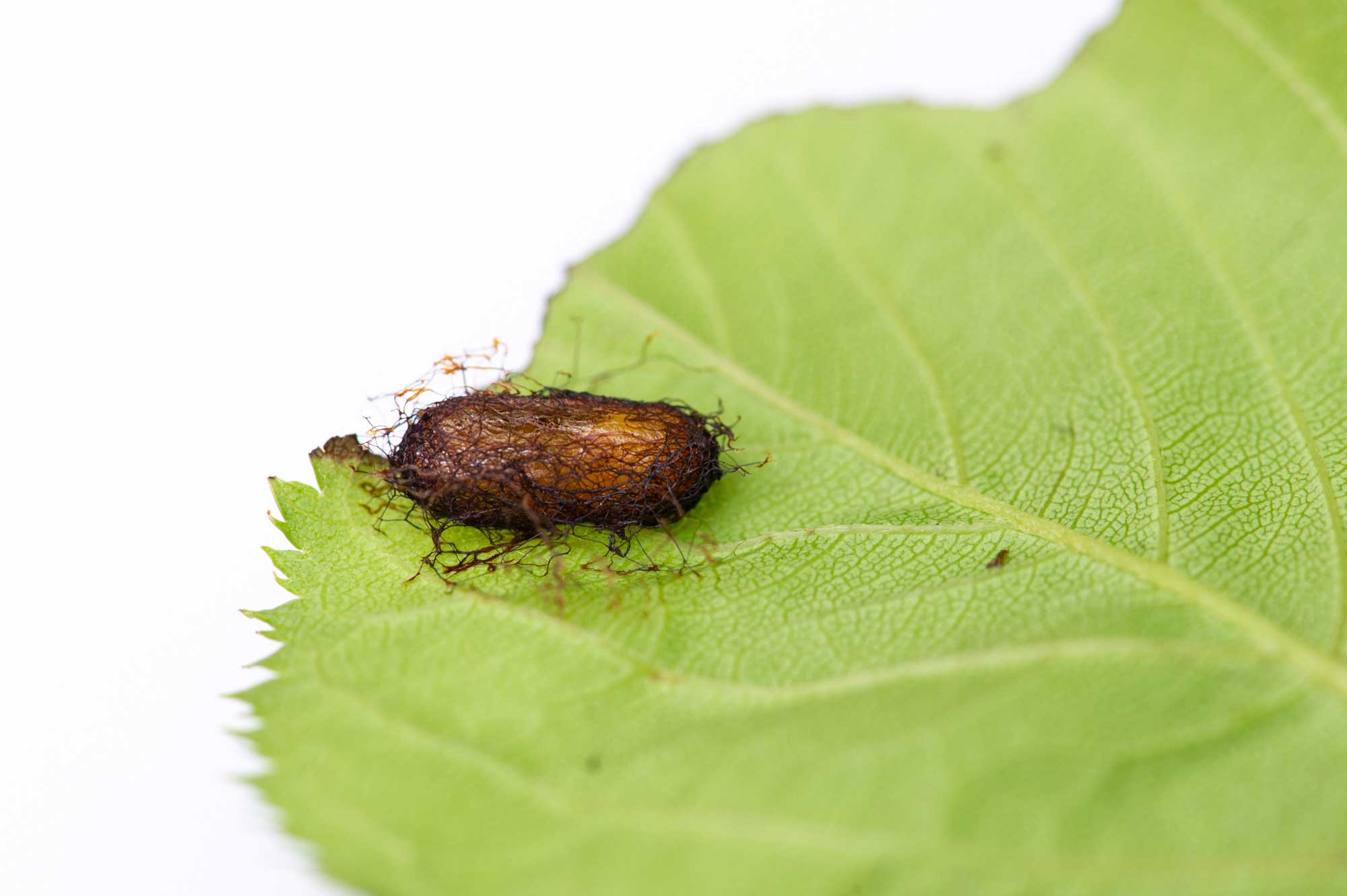 ハバチの幼虫の飼育の写真
