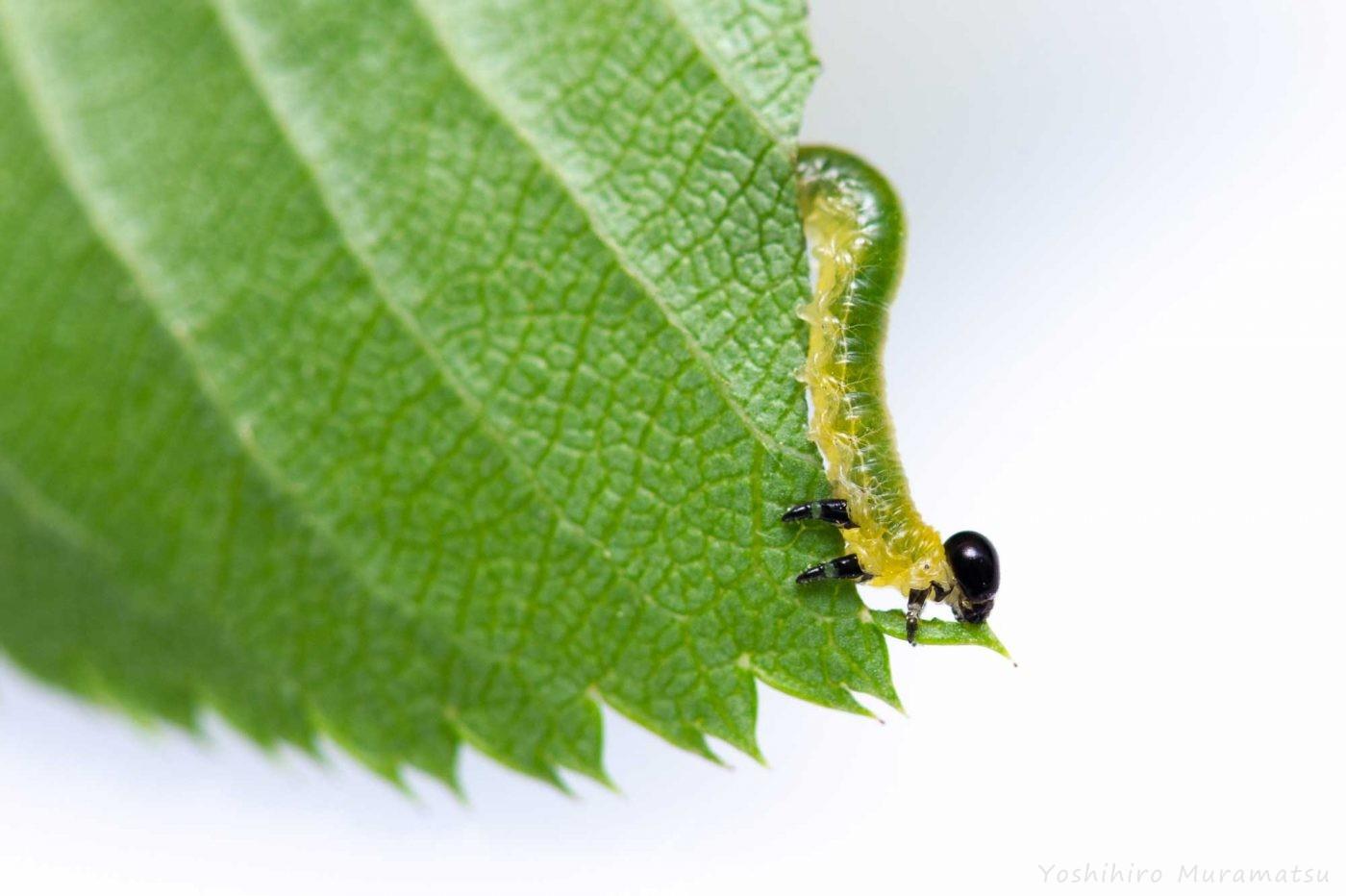 ハバチの飼育の写真