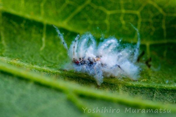 エノキワタアブラムシの写真