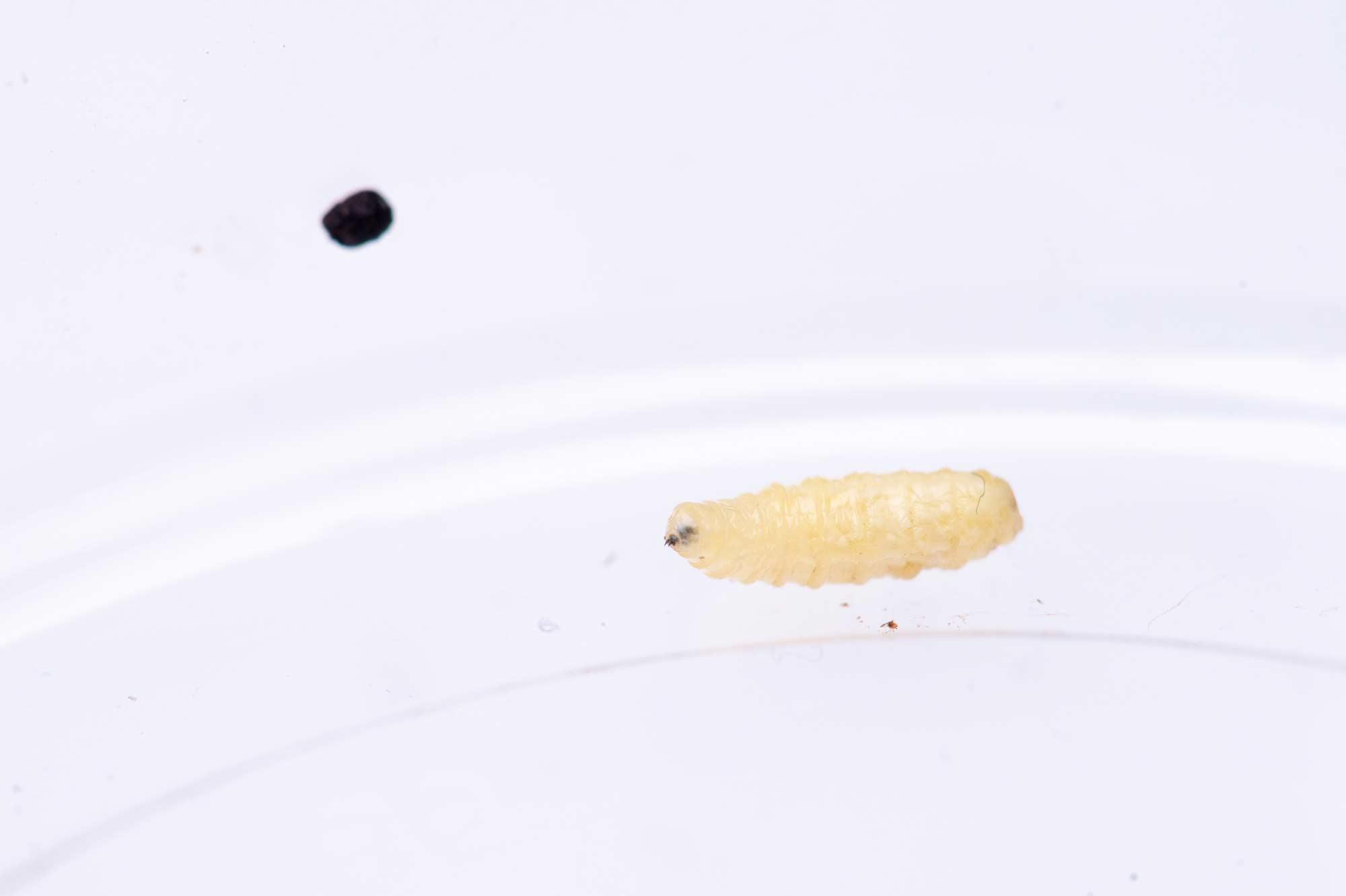 イモムシの飼育の写真 寄生蝿