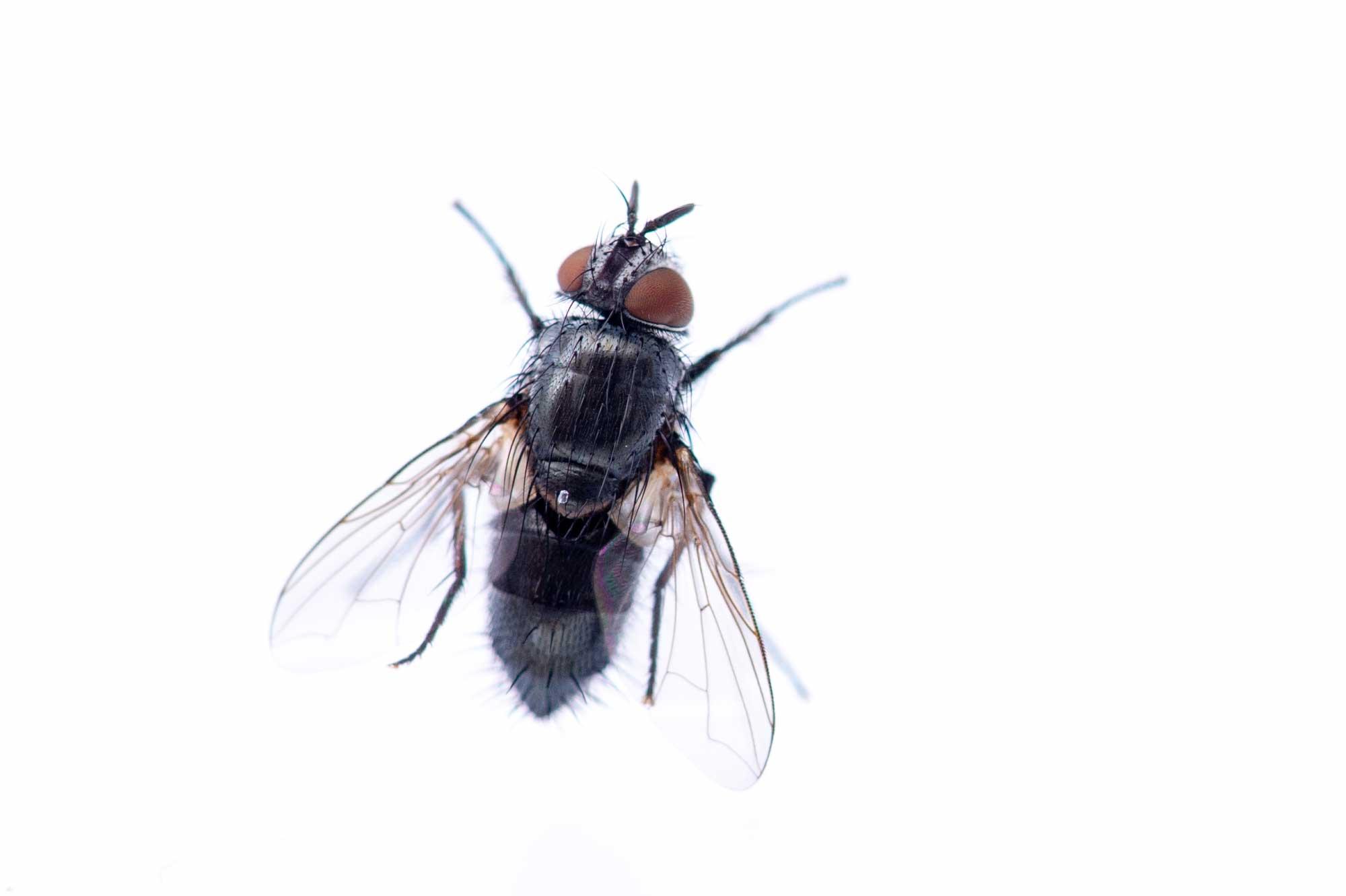 寄生ハエの写真
