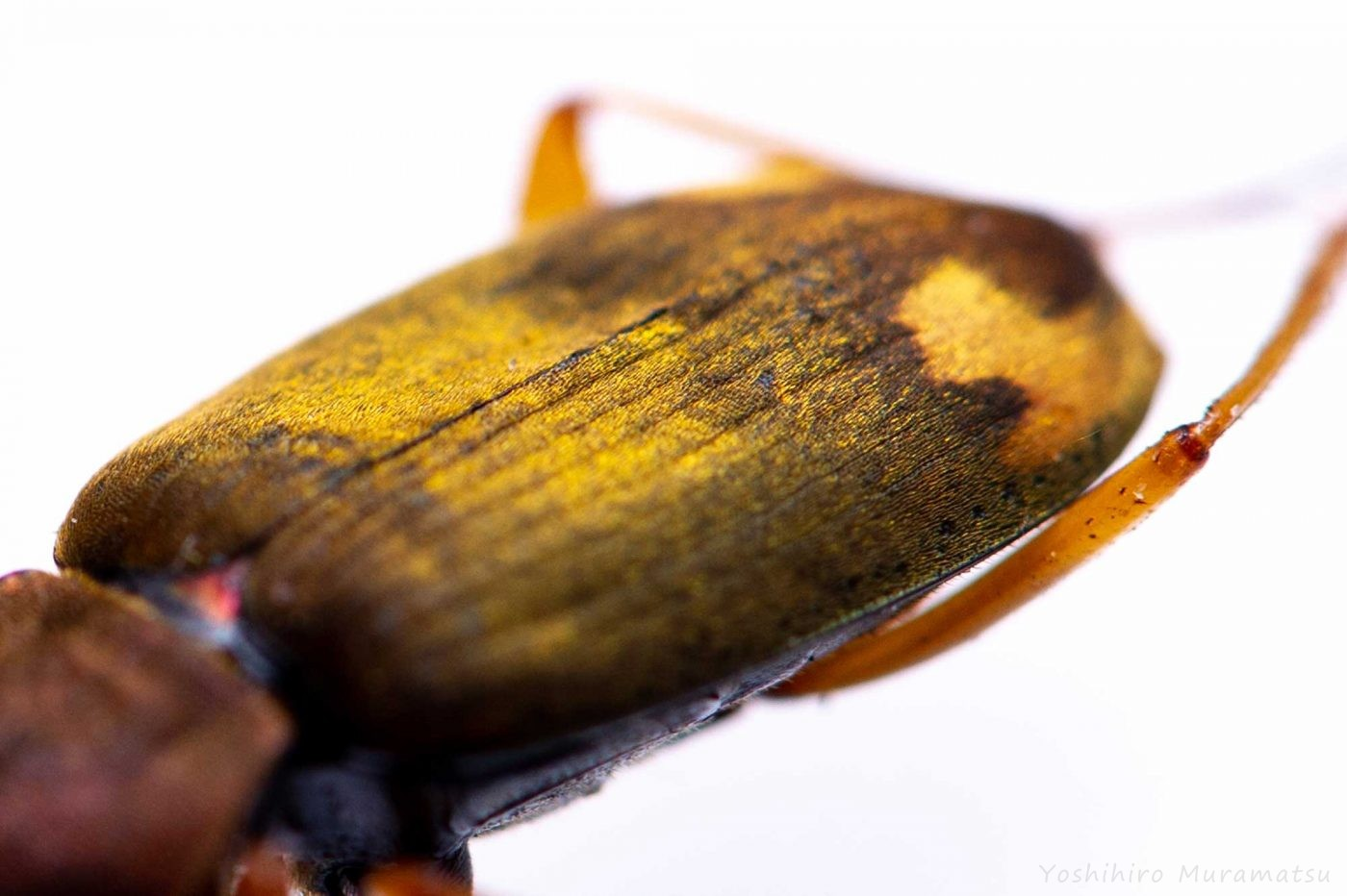 オオアトボシアオゴミムシの写真