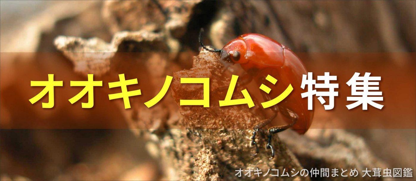 オオキノコムシ特集バナー画像